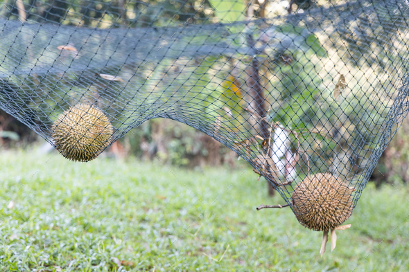 Ripe durian landed on safety net to cushion fall impact. - Stock Photo - Images