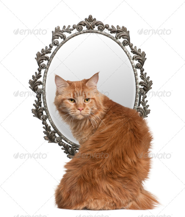 Cat looking back with a mirror in background in front of white background - Stock Photo - Images