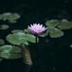 Beautiful pink waterlily or lotus flower in pond - PhotoDune Item for Sale