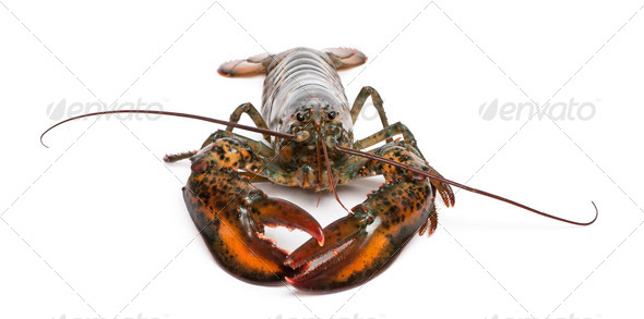 American lobster, Homarus americanus, in front of white background - Stock Photo - Images