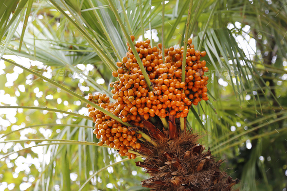 Palm tree with bright orange fruits - Stock Photo - Images