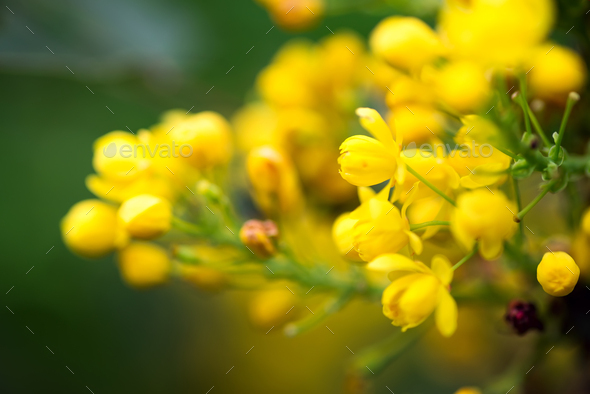 Greeting card with close up fresh aromatic Mahonia aquifolium flower against blurred background - Stock Photo - Images