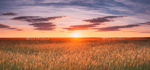 Landscape Of Wheat Field Under Scenic Summer Dramatic Sky In Sunset Dawn Sunrise. Skyline. Panorama - Stock Photo - Images