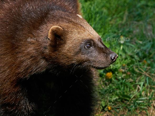Wolverine (Gulo gulo) - Stock Photo - Images