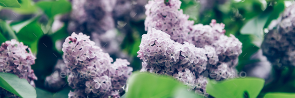 Blooming lilac tree - Stock Photo - Images