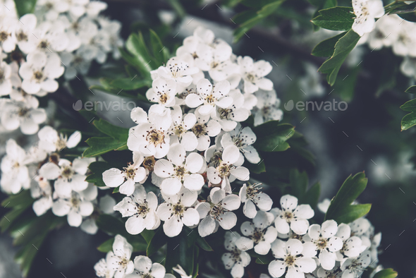 Blooming tree with white flowers - Stock Photo - Images