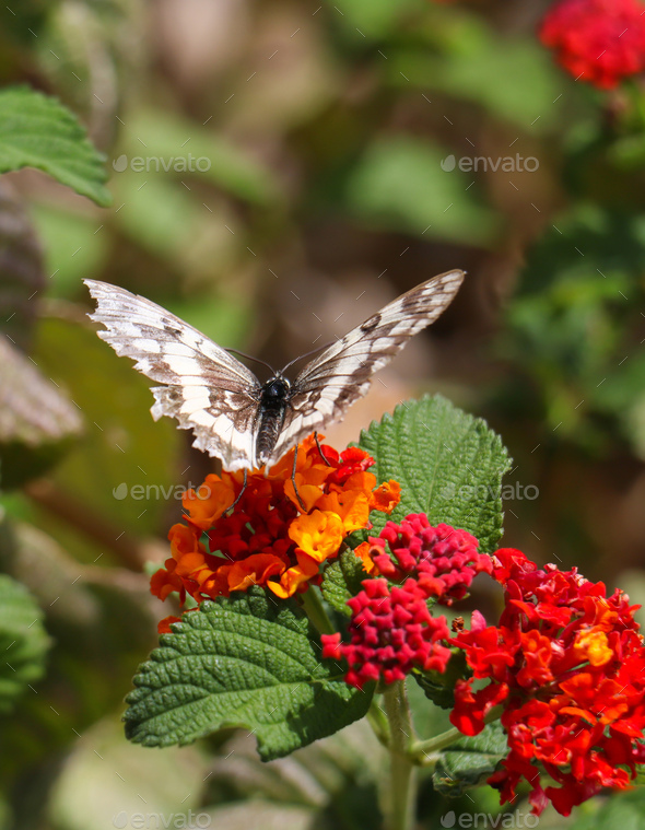 Butterfly melanargia galathea with white and brown color wings pollinating red and yellow flower. - Stock Photo - Images