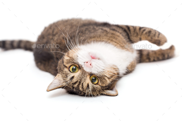 Large, grey cat lies lazily - Stock Photo - Images