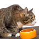 Grey cat eats food - PhotoDune Item for Sale