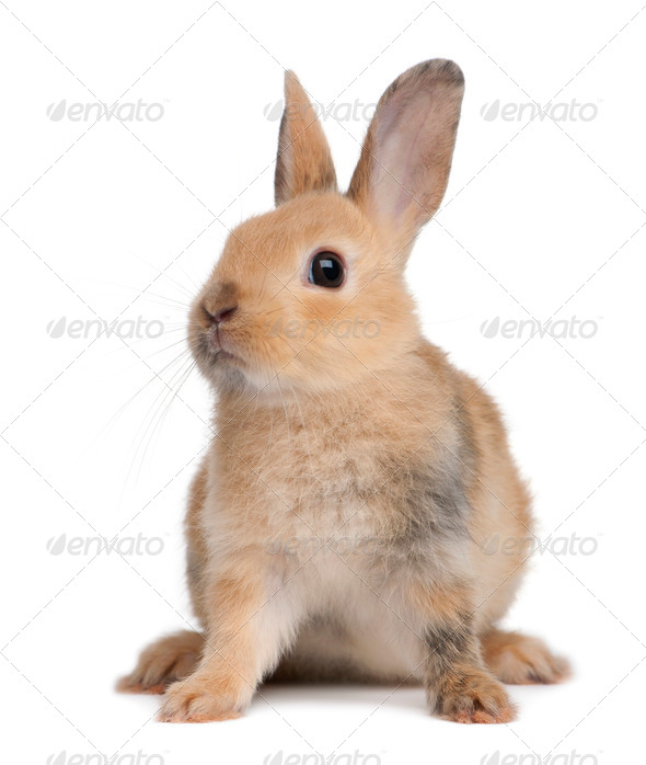 Portrait of a European Rabbit, Oryctolagus cuniculus, sitting in front of white background - Stock Photo - Images