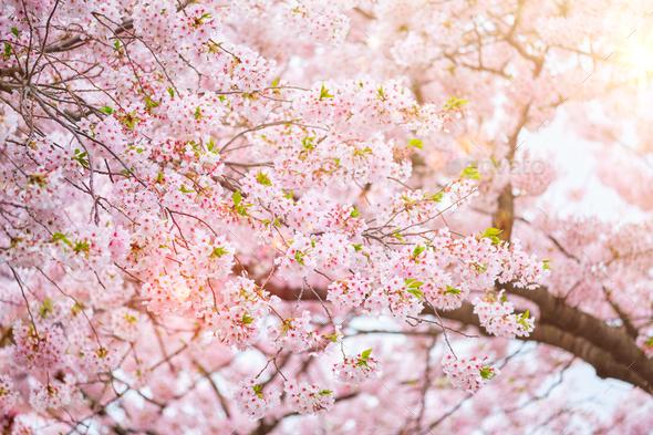 Blooming sakura cherry blossom - Stock Photo - Images