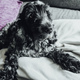 Beautiful portrait of a black and white cocker spaniel - PhotoDune Item for Sale