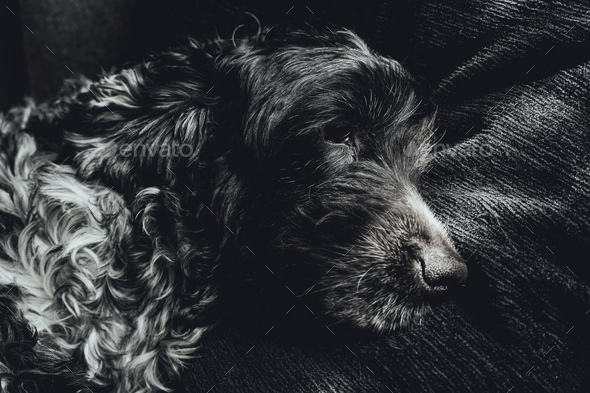 Beautiful portrait of a black and white cocker spaniel - Stock Photo - Images