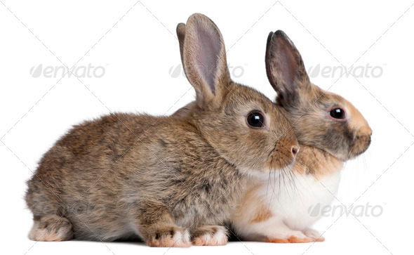 Portrait of European Rabbits, Oryctolagus cuniculus, sitting in front of white background - Stock Photo - Images