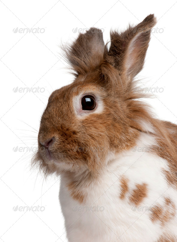 Close-up of a European Rabbit, Oryctolagus cuniculus, in front of white background - Stock Photo - Images