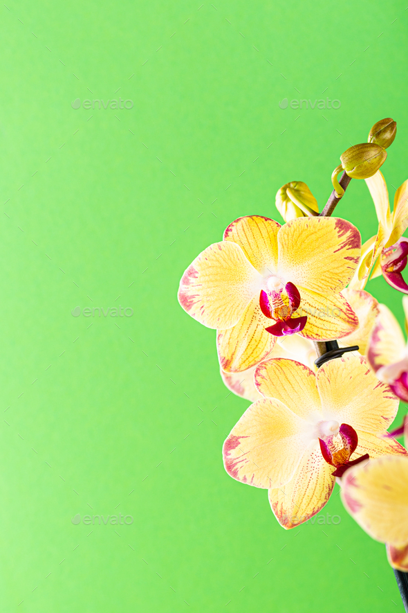 Orchid flower yellow bloom - Stock Photo - Images