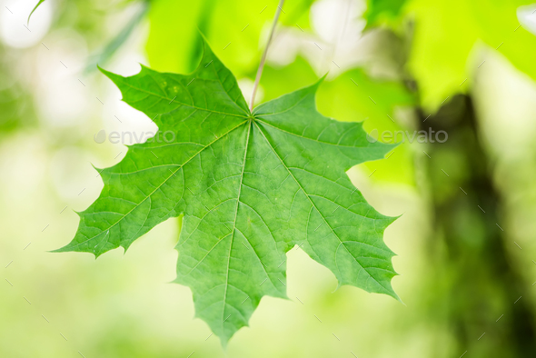 Fresh spring green close up maple leaf on a blurred garden background - Stock Photo - Images