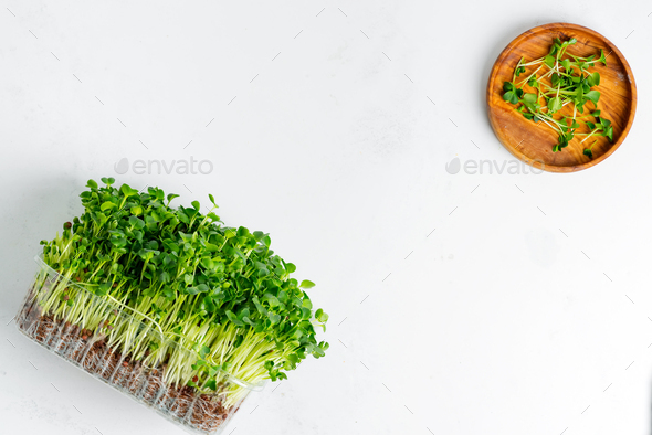 Fresh home grown organic microgreen in a transparent box on a light grey concrete background - Stock Photo - Images