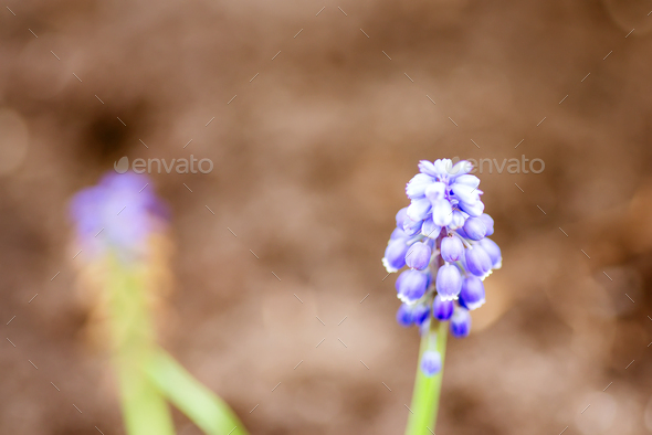 Close-up fresh beautiful flower Grape hyacinth on a blurred natural background - Stock Photo - Images