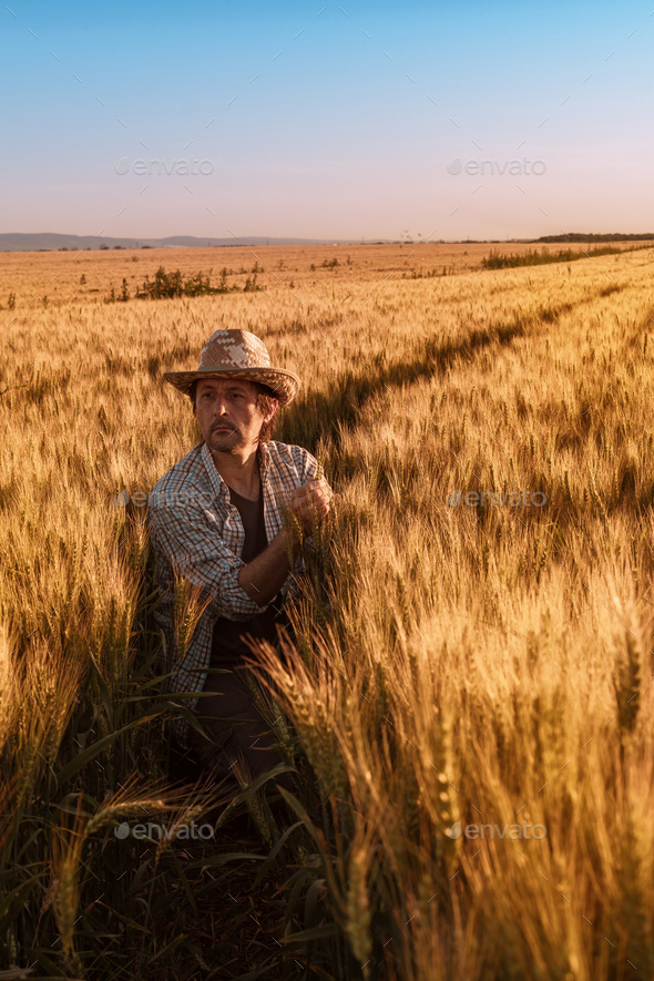 Agronomist farmer is inspecting ripening ears of wheat in field - Stock Photo - Images