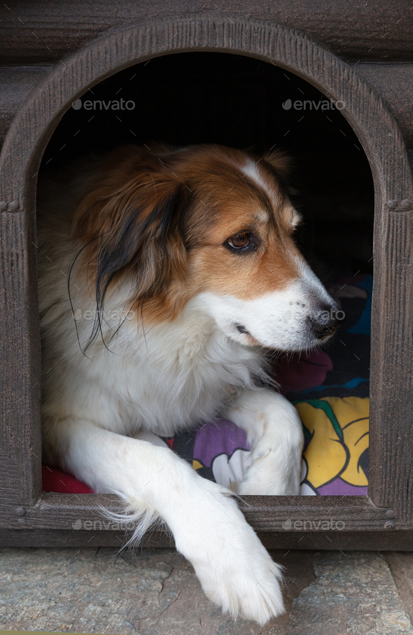 Shepherd dog resting in the doghouse, closeup view - Stock Photo - Images