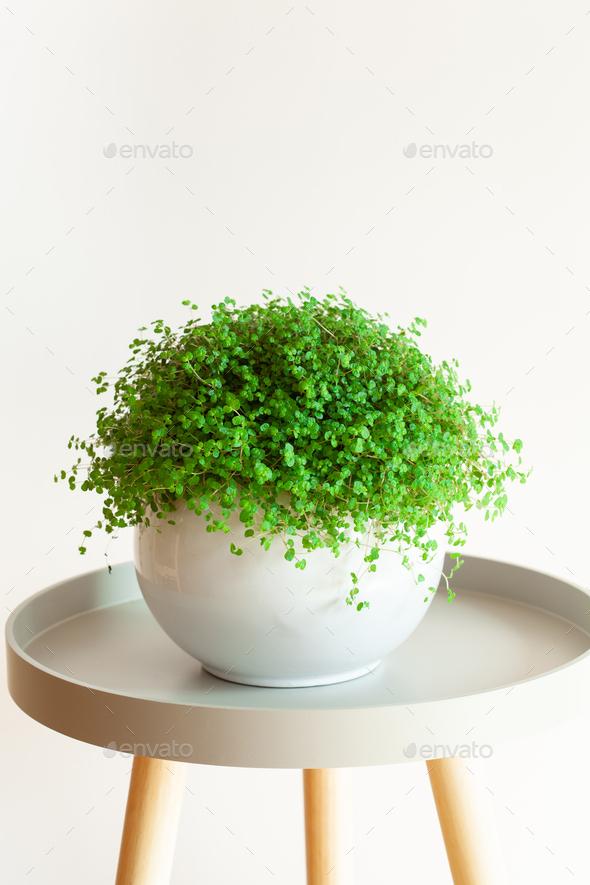 houseplant Soleirolia soleirolii in white flowerpot - Stock Photo - Images