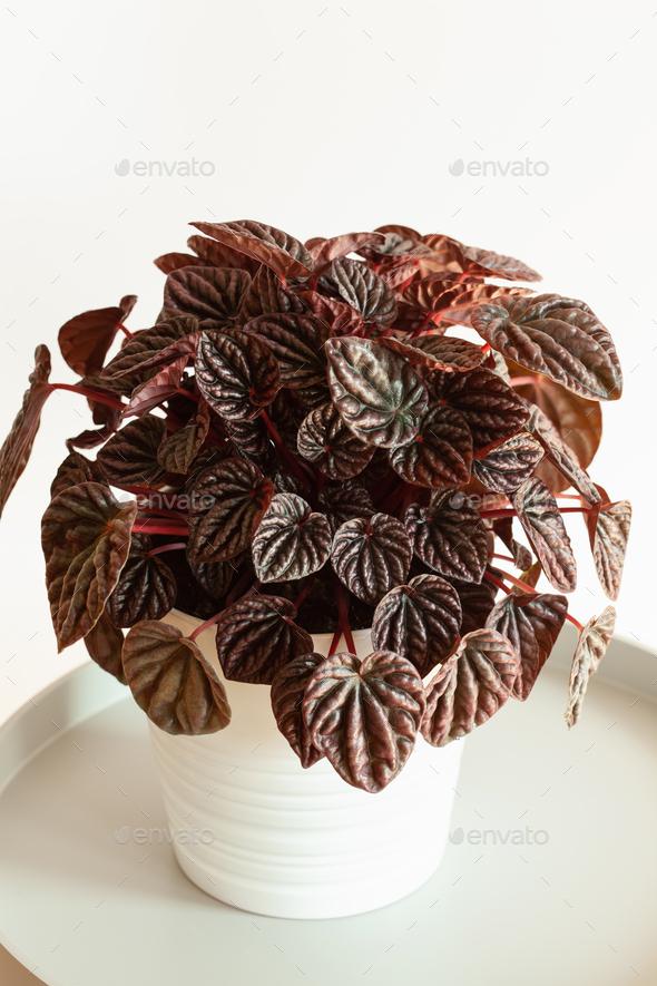 houseplant peperomia caperata in white flowerpot - Stock Photo - Images