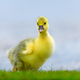 Cute little domestic gosling in green grass - PhotoDune Item for Sale