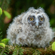 Baby Long-eared owl owl in the wood, sitting on tree trunk in the forest habitat - PhotoDune Item for Sale