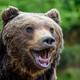 Close-up funny smile brown bear portrait. Danger animal in nature habitat - PhotoDune Item for Sale