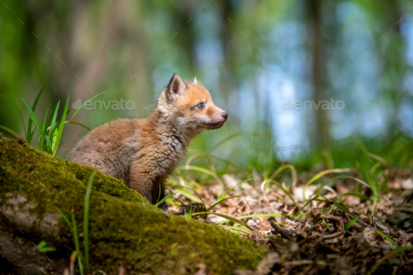 Red fox, vulpes vulpes, small young cub in forest - Stock Photo - Images