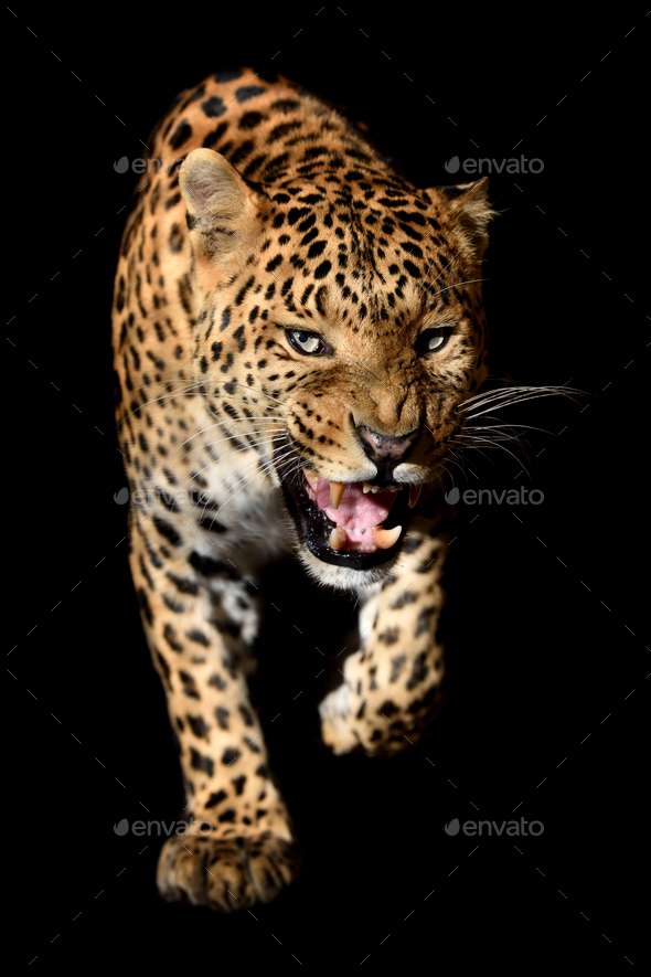 Close up angry big leopard isolated on black background - Stock Photo - Images