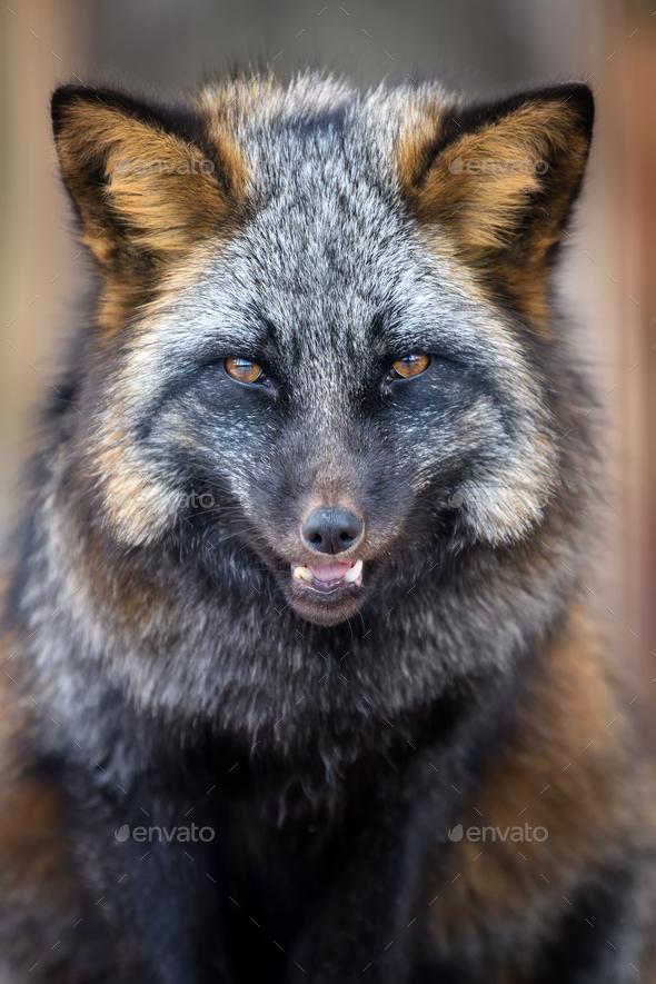 Portrait silver Fox, beautiful animal on dark background - Stock Photo - Images