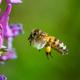 Flying bee landing to violet flower - PhotoDune Item for Sale