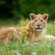 Lion cub in grass. Animal wild predators in natural environment - PhotoDune Item for Sale