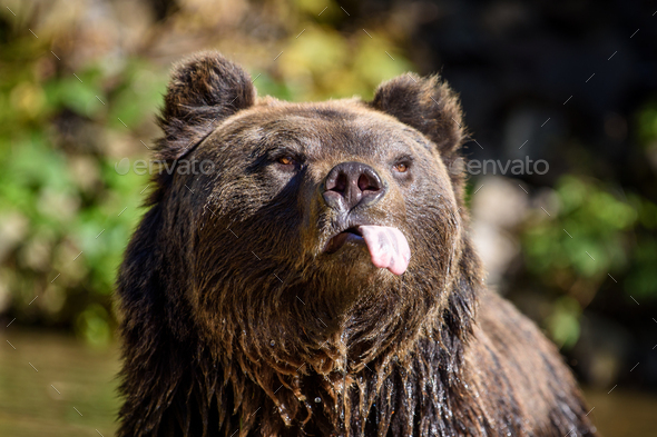 Close-up funny brown bear portrait with outstretched tongue. Danger animal in nature habitat - Stock Photo - Images