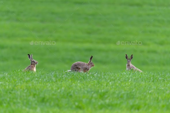 Three cute hare sitting in spring grass. Wildlife scene from nature - Stock Photo - Images