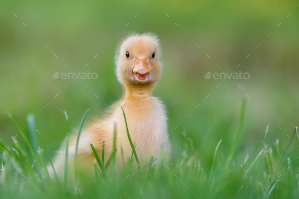 Funny  Little yellow duckling on spring green grass - Stock Photo - Images