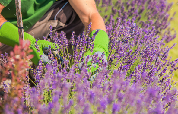 Close Up Of Field Of Lavender Flowers Cut By Gardener. - Stock Photo - Images