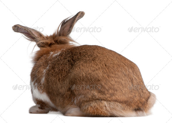 Rear view of a European Rabbit, Oryctolagus cuniculus, sitting in front of white background - Stock Photo - Images