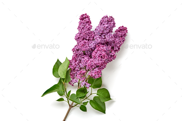Lilac - Stock Photo - Images