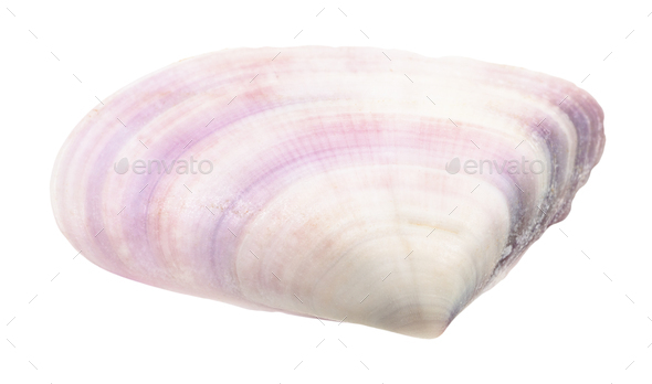 violet shell of clam isolated on white - Stock Photo - Images