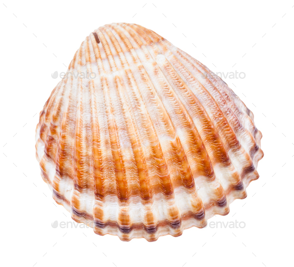 brown conch of cockle isolated on white - Stock Photo - Images