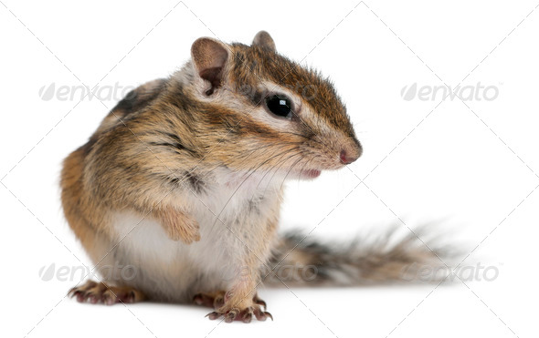 Siberian chipmunk, Euamias sibiricus, sitting in front of white background - Stock Photo - Images