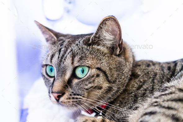 Lean and athletic Bengal Cat with Blue Eyes - Stock Photo - Images