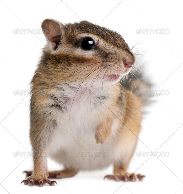 Close-up of a Siberian chipmunk, Euamias sibiricus, in front of white background - Stock Photo - Images