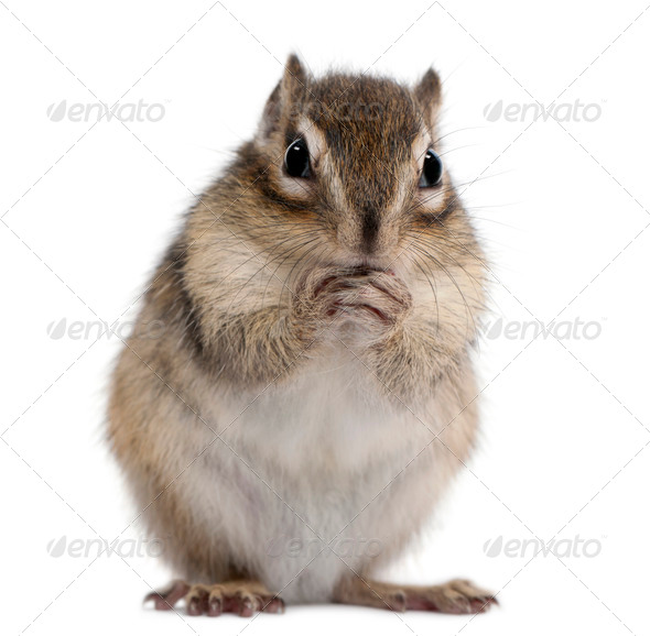 Siberian chipmunk, Euamias sibiricus, standing in front of white background - Stock Photo - Images