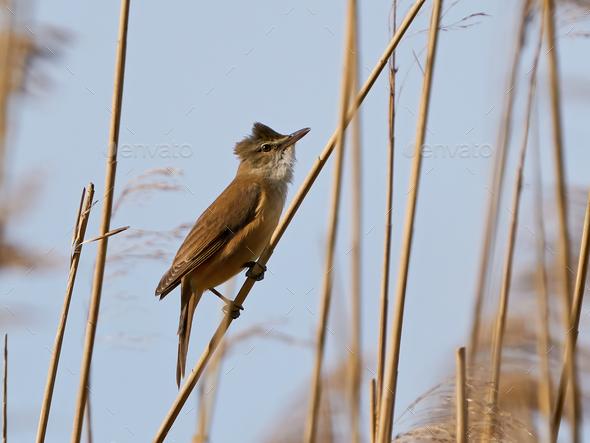 Great reed warbler (Acrocephalus arundinaceus) - Stock Photo - Images