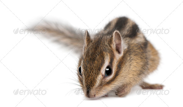 Siberian chipmunk, Euamias sibiricus, in front of white background - Stock Photo - Images