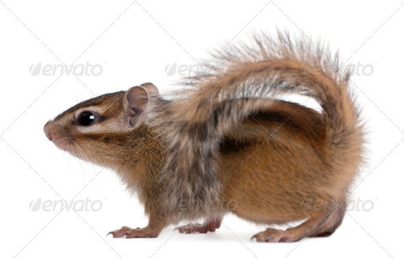 Siberian chipmunk, Euamias sibiricus, walking in front of white background - Stock Photo - Images